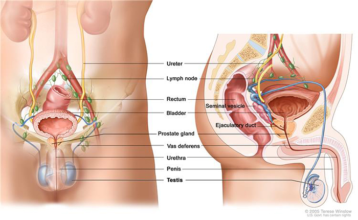 male reproductive and urinary systems
